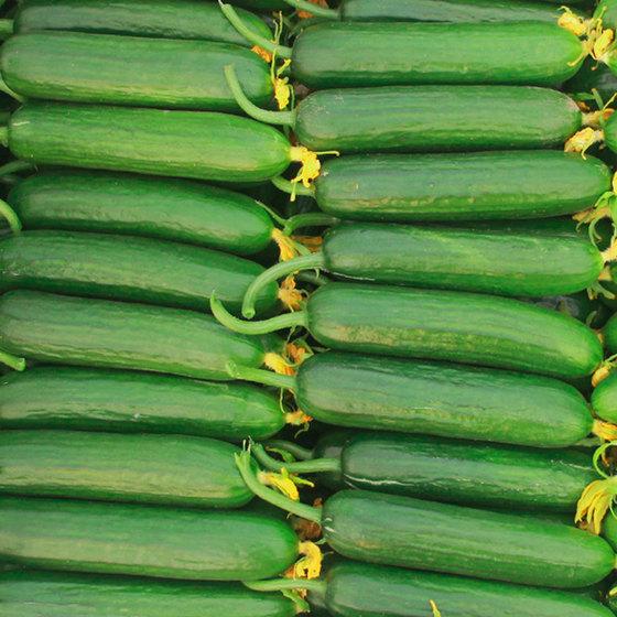 【御品一园旗舰店】     现摘黄瓜5斤14.8(每个ID限购5件)